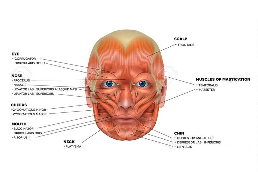 Les mucles du visage